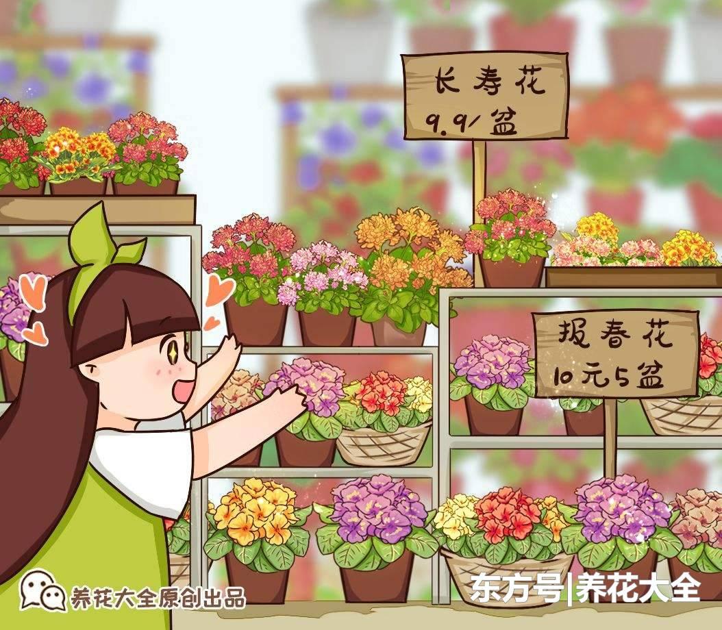 報春花現在養正合適,掌握4點養護技巧,開花又多又美!